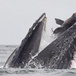 Fóka keveredett egy hatalmas bálna szája és ebédje közé, egy fotós pont lekapta