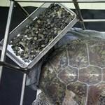 5 kiló pénzérmét találtak ennek a szegény teknősnek a gyomrában – fotók