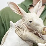 Fotók: Csupasz, malacorrú, nyúlfülű, kengurufarkú lény született Győrben