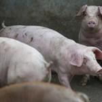 Már tíz romániai megyében tombol az afrikai sertéspestis