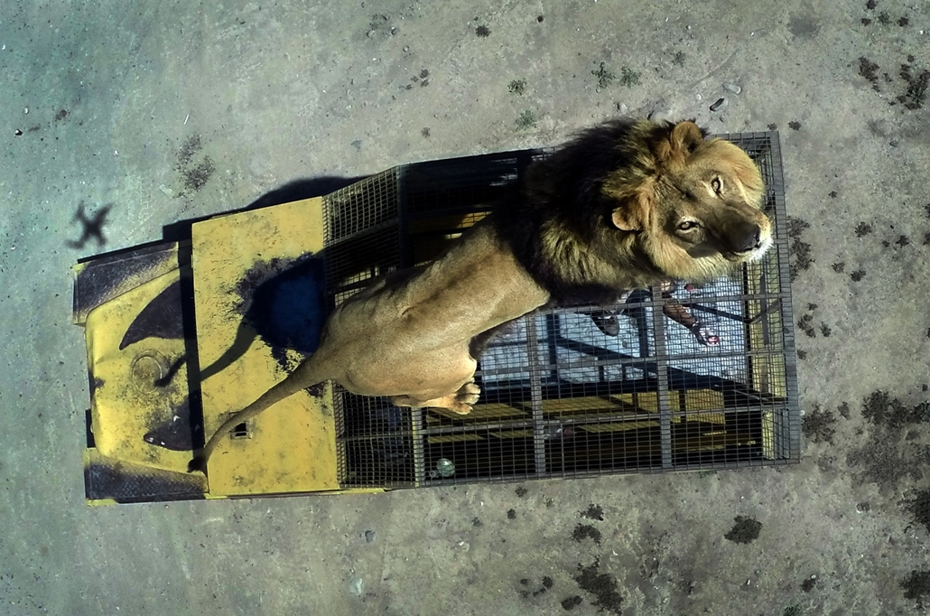 afp. 2014. állatos nagyítás, oroszlán, 2014.10.30. Chíle, Rancagua : Top view of a lion on the cage of a vehicle at the Safari Lion Zoo in Rancagua, Chile, on October 30, 2014. the Safari Park Zoo is the only park in Latin America where tourists can see f