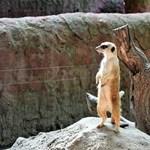 Csúcsra ért a demokrácia: a Momentum örökbe fogadta a kecskeméti állatkert új szurikátáját