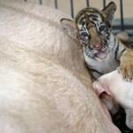 Fotók: tigrissel osztoznak az anyatejen a thaiföldi kismalacok