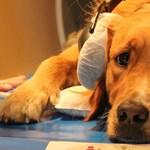 Azt már tudjuk, mi nem védi meg az öreg kutyákat az elbutulástól
