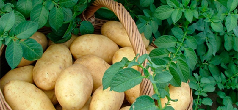Baj van a krumplival, zárlatot rendeltek el Szécsényben