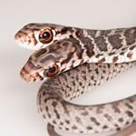 Kétfejű kígyót találtak – fotók