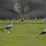 Az időjárás a fehér gólyák útra kelését is megzavarta