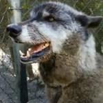 Gigantikus farkaskutyát mentettek egy sintértelepről, eltörpül mellette a gondozója