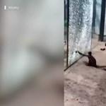 Egy kínai állatkert majma rájött, hogy egy hegyes kővel széttörheti az üveget – és megszökhet