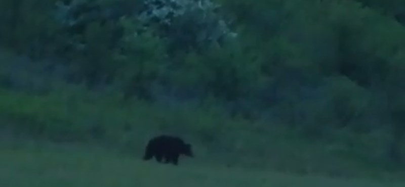 Videó is van már a Szlovákiából átjött szerelmes medvéről