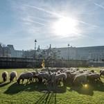 Idilli fotók: Birkanyáj legelészik a párizsi Louvre mellett