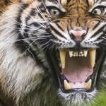 Videó: Tigris mentette meg az állatgondozót egy leopárdtól