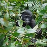 Az élőhely hiánya és az erőszakos területvédés miatt bajba kerültek a hegyi gorillák