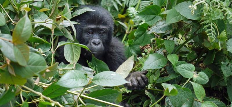 Állatkerti gorillák fertőződtek meg koronavírussal San Diegóban