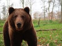 Harminc medvét kellene örökbe fogadni egy krími vadasparkból