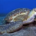 Melegszik az óceán, már alig vannak hím teknősök