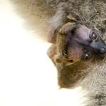 Első felfedezői még szellemnek hitték, most Nyíregyházán bukkant fel egy újabb példány