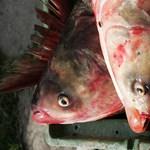 Egyetlen éjszaka alatt tömegesen pusztultak ki halak a pilisvörösvári Nagy-tóból