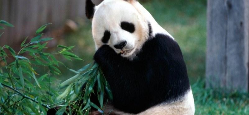 Óriáspandák üdvözlik majd a Pekingbe érkező turistákat