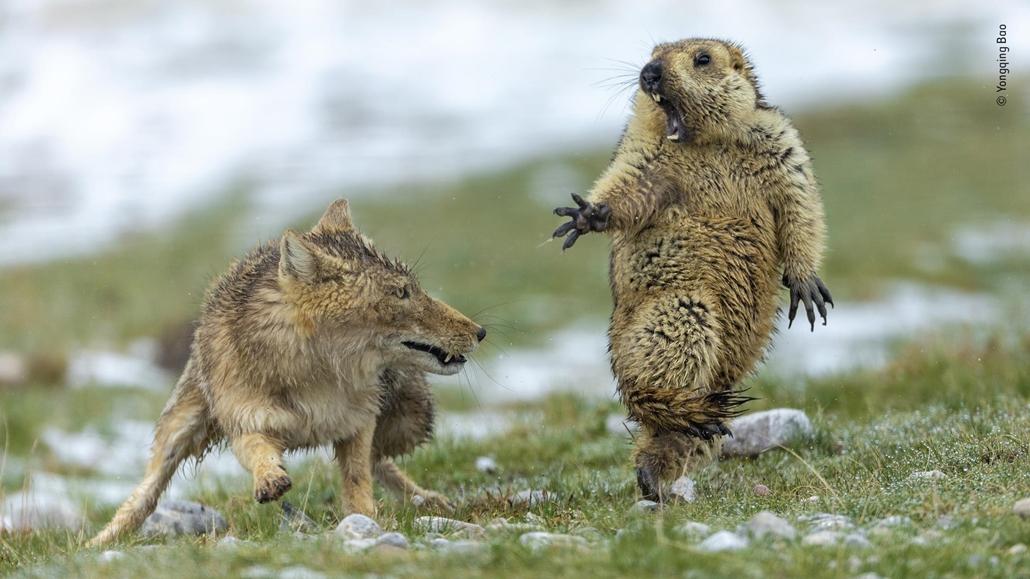 NAGYÍTÁS NE HASZNÁLD  Himalájai mormotára támad egy tibeti róka.