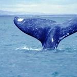 A rugalmas táplálkozásuk miatt maradtak életben a szürke bálnák