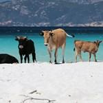Hogyan kerültek elvadult marhák a francia turistaparadicsomba?
