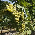 Kétezer forintnál drágább bor kellene, hogy meg lehessen élni a szőlőtermelésből?