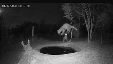 Készült egy zseniális videó arról, ijedtében milyen magasra ugrik egy leopárd