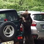 A nap videói: Parkoló autókat próbálnak kinyitni az erdélyi medvék