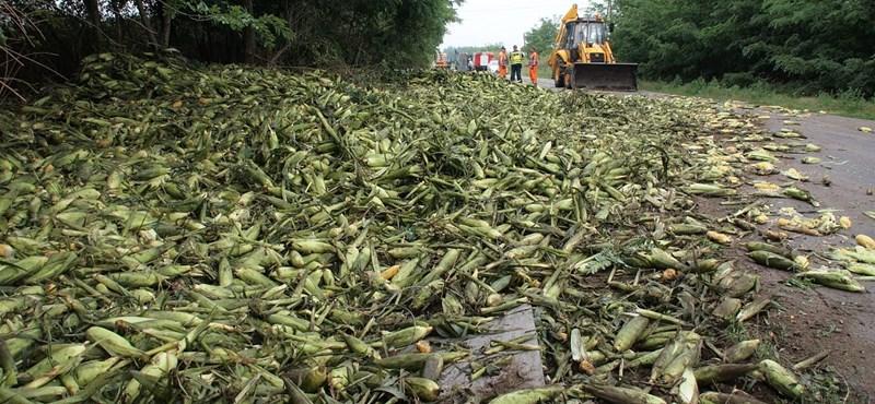 Elzárja az utat az úttestre borult kukorica - fotó