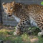 Megölték a leopárdot, aztán fotózkodtak vele