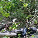 Kétméteres kígyó kapott el egy majmot, a társai rögtön ráugrottak – a tudósok pedig éppen videóztak
