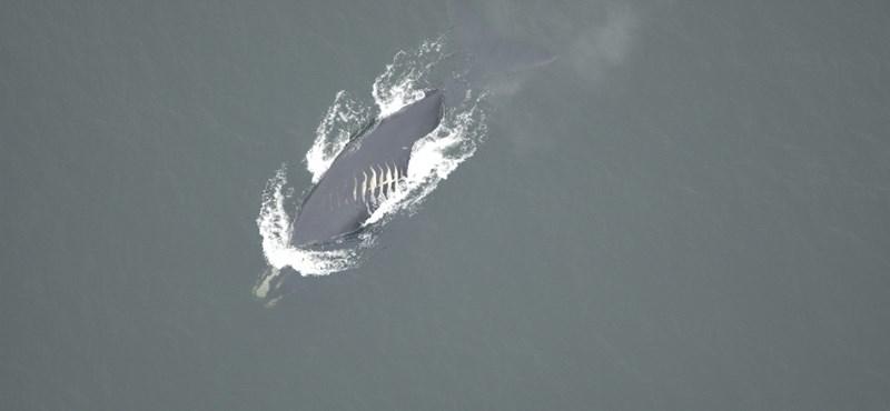 Szomorú következmény: egyre többször ütköznek a bálnák hajókkal a globális felmelegedés miatt