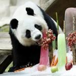 Fél évig ünneplik majd a legidősebb panda születésnapját Kínában
