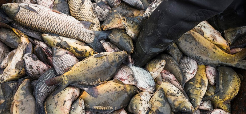 A hal áfája is csökkenhet, védjegyet vezetnének be karácsonyig