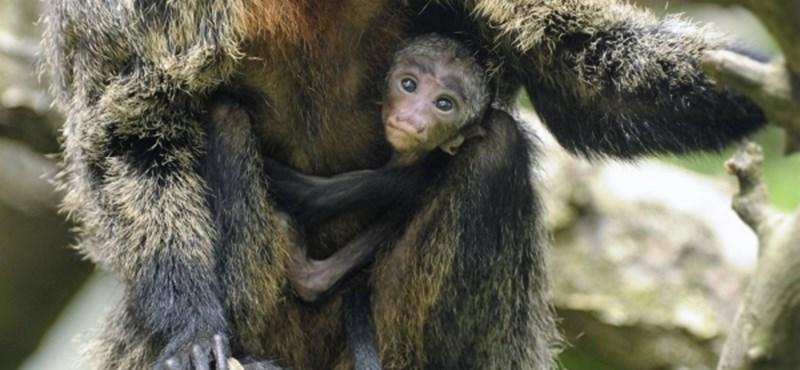 Fotó: Ufófejű sátánmajmocska született Nyíregyházán
