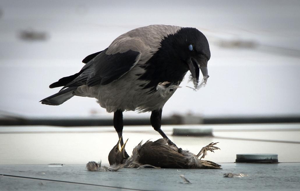 afp. 2014. állatos nagyítás, varjú, Németország, Berlin : A crow eats it's prey sitting on the roof of the Chancellery in Berlin on May 6, 2014.