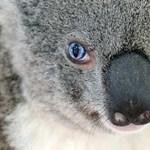 Drónokkal figyelik a koalákat Ausztráliában
