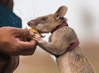 Bátorságáért tüntettek ki egy aknakereső patkányt