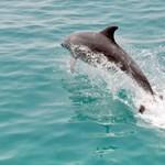 Hosszú idő után újra delfineket láttak az Adrián