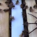 Horrorvideó: Szétszedik a méhek az óriáspókot