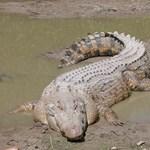 Hétezer krokodil éhezik a maffiaügybe keveredett bankárcsalád farmján