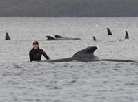 Elpusztult a csapdába esett delfinek harmada a tasmán partoknál
