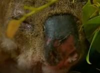 Most már nyugodtan nassol a kórházban a megpörkölődött koala