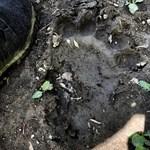 Most a Börzsönyben találtak egy medvelábnyomot