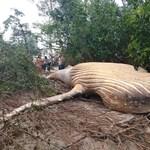 Bálnát találtak az amazonasi esőerdőben, senki sem érti, hogy került oda