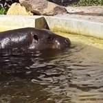 Videó: Vízilovak siettek a bajba jutott kiskacsa segítségére