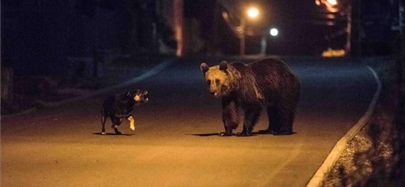Maximálták a medvék számát Romániában