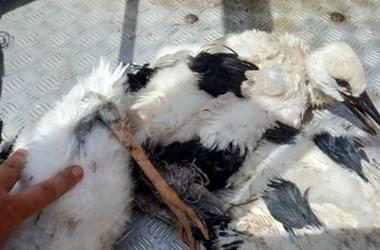 Bálamadzag kötötte gúzsba a gólyafiókákat Akasztón, a természetvédelmi őrök mentették meg őket