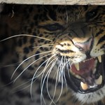 Leopárd ölt meg egy nepáli kislányt